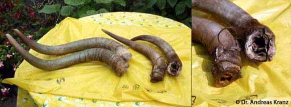 Abb. 14.1: Schlachtfrische Hörner sind unser Ausgangsmaterial. Im Ausschnitt rechts kann man sehr gut den Knochenzapfen und dem Übergang zum eigentlichen Horn erkennen.